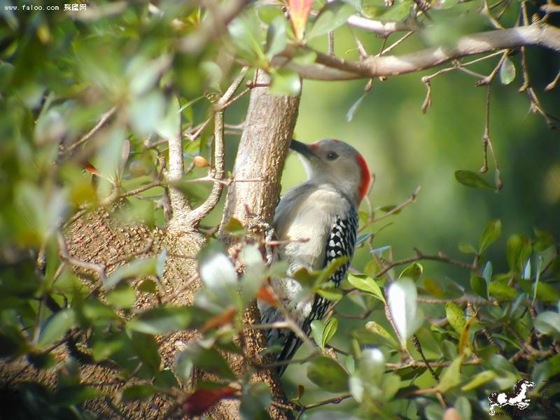啄木鸟是树木的