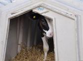 牛舍太小无法进出 农场涉嫌虐待奶牛