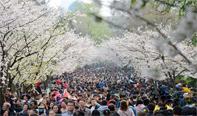 南京迎来赏樱大潮